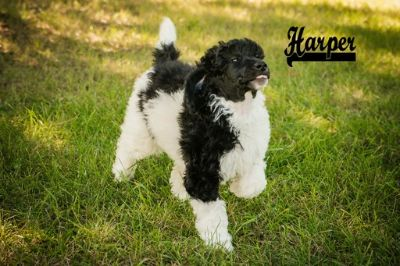 Poodle (Standard) PUPPY FOR SALE ADN-101535 - Beautiful AKC Standard Poodle Parti Colored Puppi