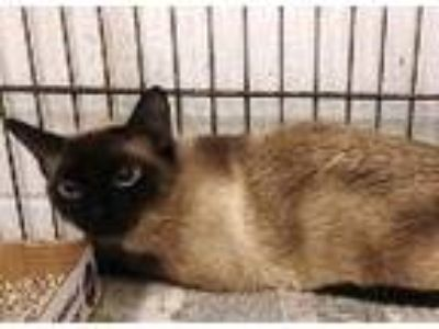 Adopt Prissy a Siamese / Mixed cat in Homer Glen, IL (25845781)