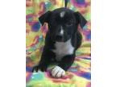 Adopt Ezra a Black - with White Labrador Retriever / Mixed Breed (Large) / Mixed