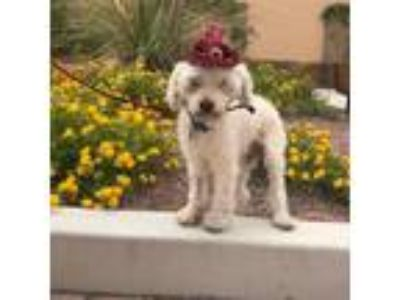 Adopt Axl Rose a Poodle