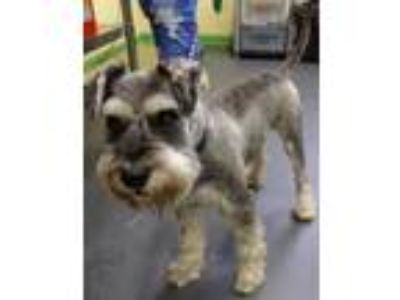 Adopt Jacques a Black Schnauzer (Miniature) / Mixed dog in Picayune