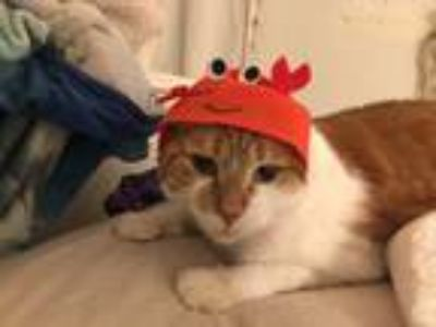 Adopt Collar a Orange or Red American Shorthair cat in Knollwood, IL (24747946)
