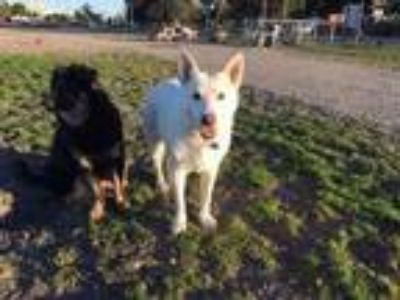 Adopt Hope a White German Shepherd