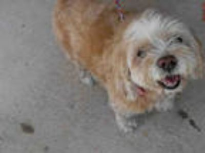 Adopt LUCIA a Tan/Yellow/Fawn - with White Shih Tzu / Mixed dog in Doral