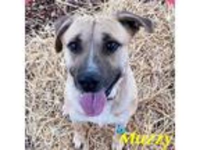 Adopt Muzzy a Tan/Yellow/Fawn Black Mouth Cur / Mixed dog in Merrimac