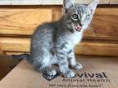 Adopt Tyler a Gray, Blue or Silver Tabby Domestic Shorthair / Mixed cat in