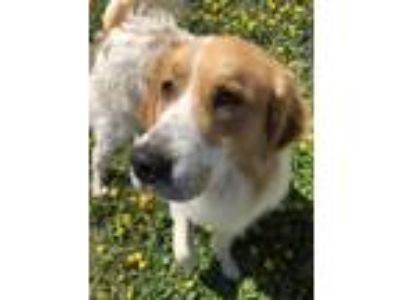 Adopt Linc a Red/Golden/Orange/Chestnut - with Black Great Pyrenees / Mixed dog