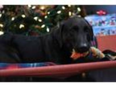 Adopt Miller a Black Labrador Retriever / Mixed dog in Wilmington, OH (22268777)