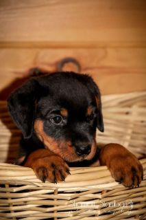 Charlie: Male AKC Rottweiler