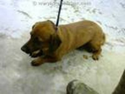 Adopt WAGNER a Tan/Yellow/Fawn Dachshund / Mixed dog in Conroe, TX (25555332)