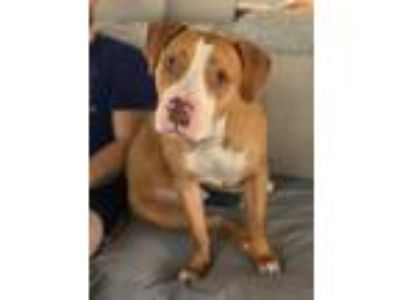 Adopt Nelson a Red/Golden/Orange/Chestnut Pit Bull Terrier / Mixed dog in