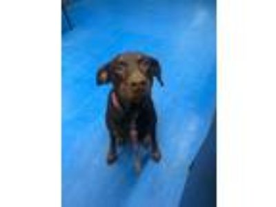 Adopt Little Girl a Brown/Chocolate - with Tan Doberman Pinscher / Mixed dog in
