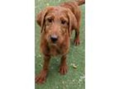 Adopt Hazel a Golden Retriever