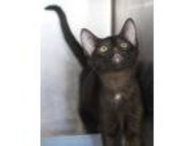 Adopt Apple Jack a All Black Domestic Shorthair / Domestic Shorthair / Mixed cat