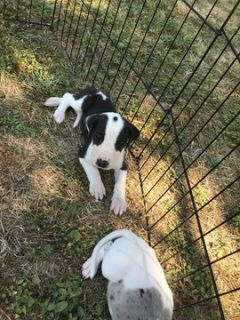 Great Dane PUPPY FOR SALE ADN-91964 - Female Great Dane Puppy for Sale