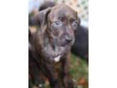 Adopt Lena a Brindle Terrier (Unknown Type, Small) / Mixed dog in E.