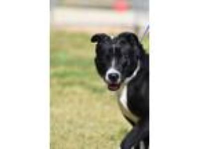 Adopt Ike a Border Collie