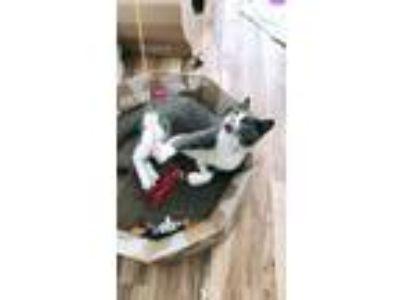 Adopt Michka a Russian Blue, American Shorthair