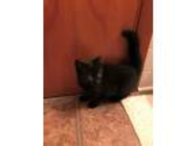 Adopt MidnightCP a All Black Domestic Shorthair (short coat) cat in Carlisle