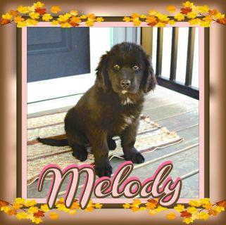 Melody Female AKC Newfoundland 330-826-1882