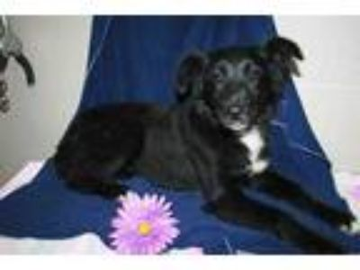 Adopt a Black - with White Rat Terrier / Mixed dog in Modesto, CA (25329527)