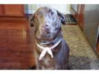 Adopt Chip a Brown/Chocolate Labrador Retriever / Mixed dog in Fredericksburg