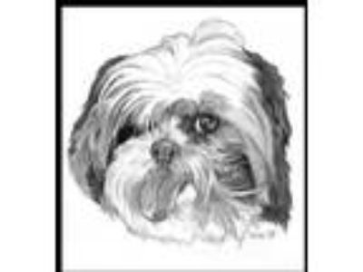Adopt Gizmo - needs foster home for evaluation a Shih Tzu