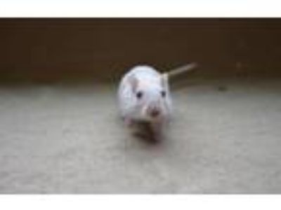 Adopt Benbrook~ Lucy and Bella a Gerbil