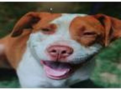 Adopt Kane a Pit Bull Terrier