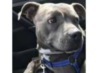 Adopt Serenity a Pit Bull Terrier