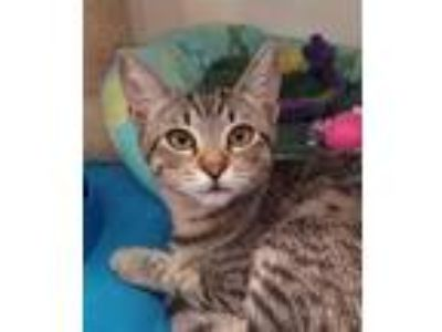 Adopt Cece a Domestic Shorthair / Mixed cat in Oceanside, CA (25919681)