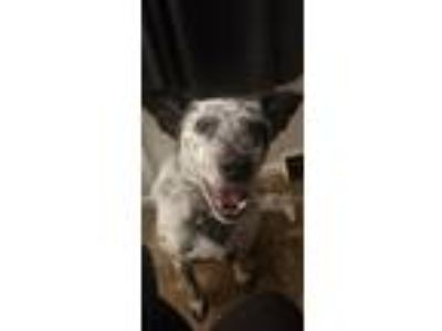 Adopt J.D. & Roxie 2015 a Australian Cattle Dog / Blue Heeler