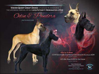Great Dane PUPPY FOR SALE ADN-89874 - Vision Quest Great Danes
