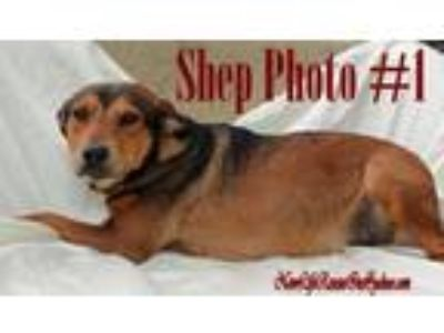 Adopt Shep a German Shepherd Dog