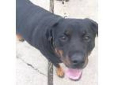 Adopt Jada a Black - with Tan, Yellow or Fawn Rottweiler / Mixed dog in Clifton