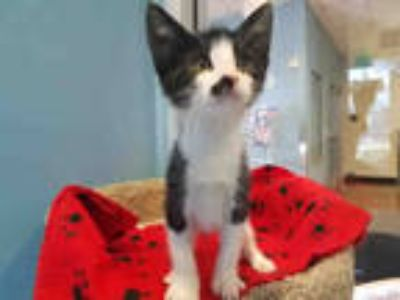 Adopt TONY a Black & White or Tuxedo Domestic Shorthair / Mixed (short coat) cat