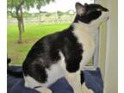 Adopt Gunther a Domestic Short Hair