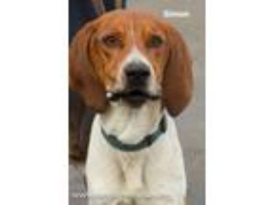 Adopt Simon a Treeing Walker Coonhound