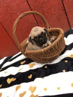 Pug PUPPY FOR SALE ADN-92831 - Pug Puppies