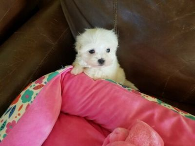 Maltese PUPPY FOR SALE ADN-109270 - Tiny Teacup Maltese Girl