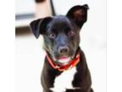 Adopt Clarissa Darling a Black Labrador Retriever