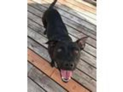 Adopt MIDNIGHT a Pit Bull Terrier, Mixed Breed