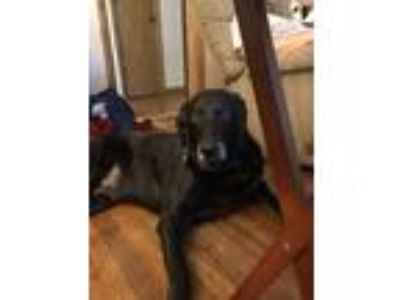 Adopt Pal a Black German Shepherd Dog / Weimaraner / Mixed dog in Saint Paul