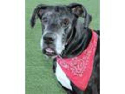 Adopt Goliath a Black Great Dane / Mixed dog in Loxahatchee, FL (24118231)
