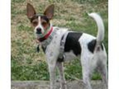 Adopt Opie a Toy Fox Terrier