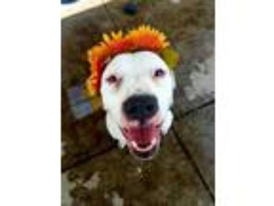Adopt LUNA a White - with Brown or Chocolate American Pit Bull Terrier / Mixed