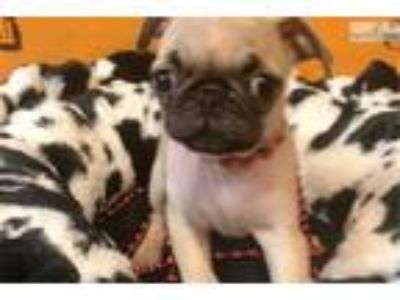 Pocahontas Cute Pug for sale Bayside Flushing Quee