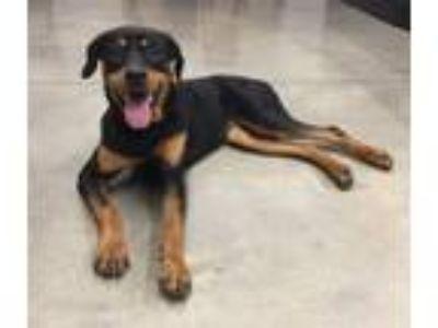 Adopt Izzy a Rottweiler, Doberman Pinscher