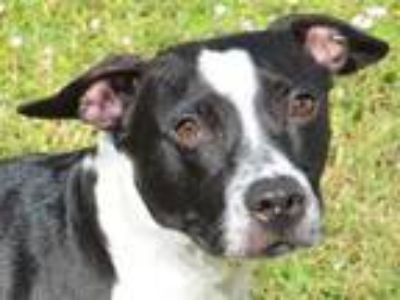 Adopt Duke a Black American Pit Bull Terrier / Mixed dog in Englewood