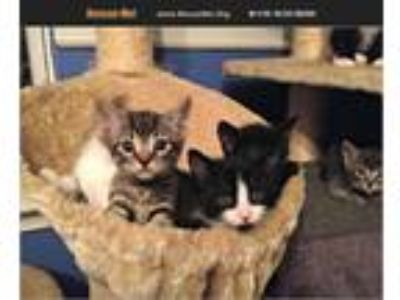 Adopt Kittens Various Male/Female a American Shorthair, Domestic Long Hair